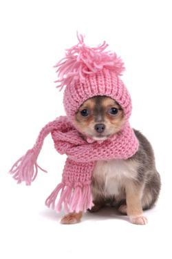 Chihuahua Puppy Funnily Dressed With Scarf And Hat For Cold Weather, Isolated by vitalytitov