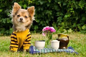 Cute Chihuahua Dog At The Picnic In Summer Garden by vitalytitov