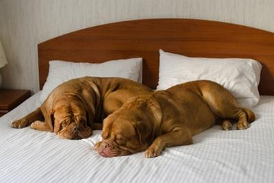 Dogue De Bordeaux Funny Couple In The Bed by vitalytitov