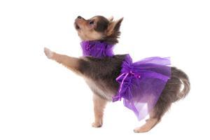 Funny Dressed Chihuahua Marching With A Paw Up, Isolated by vitalytitov