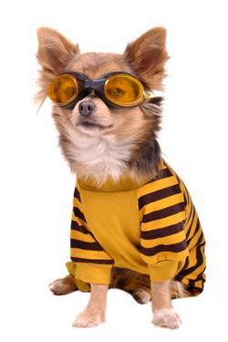 Small Chihuahua Dog Wearing Suit And Goggles Isolated On White Background by vitalytitov