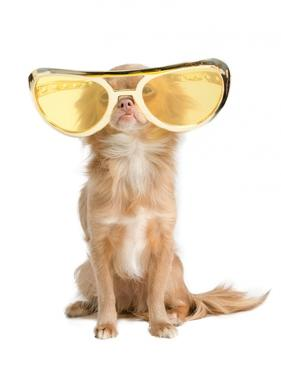 Tiny Chihuahua Dog With Funny Huge Glasses by vitalytitov