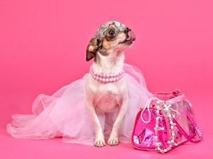 Tiny Glamour Dog With Pink Accessories Isolated by vitalytitov