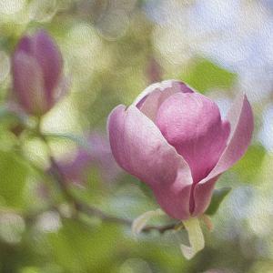 Magnolia Forever by Viviane Fedieu Daniel