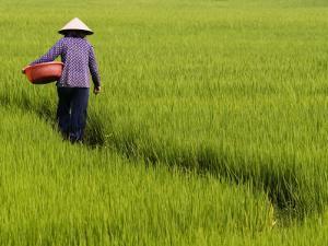 Rice Field Worker by Viviane Ponti