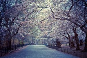 Cherry Blossoms Trees by Vivienne Gucwa