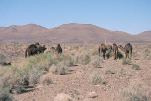 Camels, Trans Atlas Road, Morocco by Vivienne Sharp