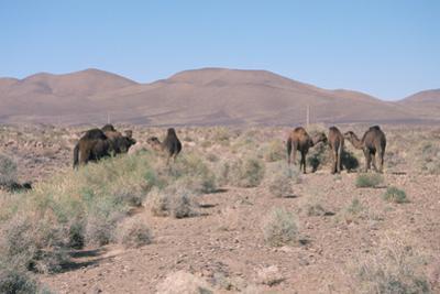 Camels, Trans Atlas Road, Morocco