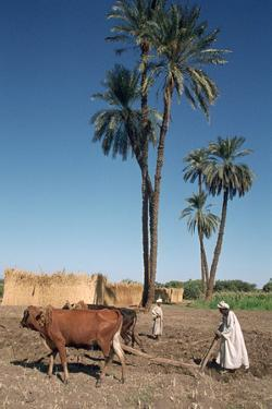 Farmer with an Ox-Drawn Plough, Dendera, Egypt by Vivienne Sharp