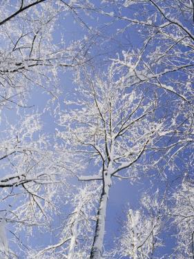 Snow-Covered Trees by Vlad Kharitonov