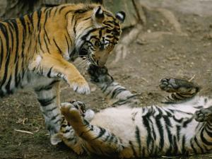 Two Tigers Play Together at the National Zoo by Vlad Kharitonov