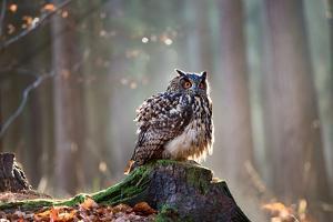 Eurasian Eagle Owl (Bubo Bubo) Sitting on the Stump, Close-Up, Wildlife Photo. by Vladimir Hodac