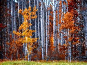 Autumn Birches by Vladimir Kostka