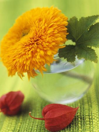 Sunflower (Variety Teddy Bear) in Glass Vase, Chinese Lanterns