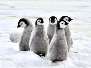 Emperor Penguin Chicks on the Snow in Antarctica by vladsilver