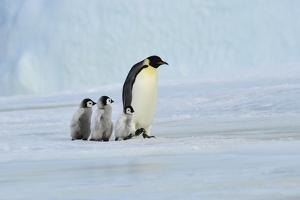 Emperor Penguin with Chick by vladsilver