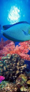 Vlamings Unicornfish and Squarespot Anthias with Soft Corals in the Ocean