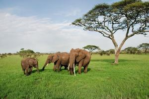 Family of Elephants on a Sunny Day in Serengeti by Volanthevist
