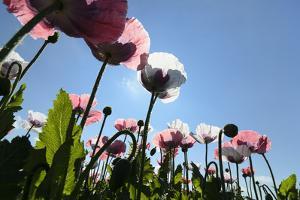 Grey Poppy Seed, Austria, Forest Quarter, Mountain Salling by Volker Preusser