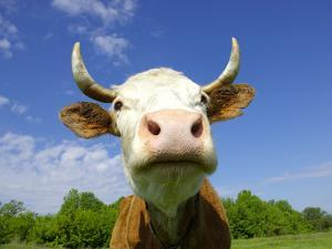 Brown Holstein Cow In The Field Looking At You by Volokhatiuk