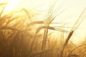 Wheat Field on the Background of the Setting Sun by Volokhatiuk