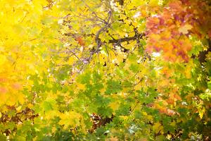 Autumn Maple Trees Background by Voy