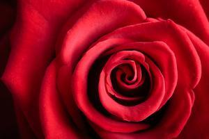 Closeup Red Rose Flower as Love Nature Background by Voy