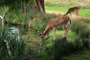Grazing Deer by Vphotographyandart