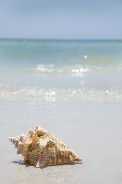 Usa, Florida, St. Petersburg, Conch Shell on Beach by Vstock LLC