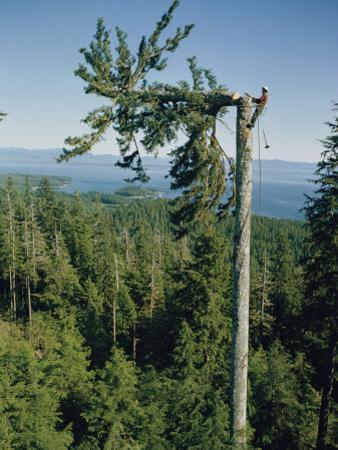 A Lumberman Tops a Sitka Spruce by W. E. Garrett