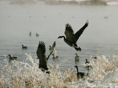 Canada Geese Land on the Water by W. E. Garrett