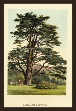Cedar of Lebanon by W.h.j. Boot