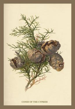 Cones of the Cypress by W.h.j. Boot