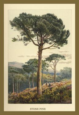 Stone Pine by W.h.j. Boot