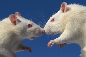 Aggressive Albino Rats Nose to Nose by W. Perry Conway