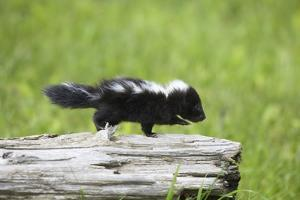 Baby Skunk on Log by W. Perry Conway