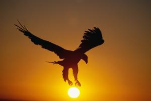 Bald Eagle Flying at Sunrise by W. Perry Conway