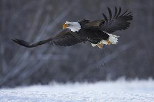 Bald Eagle in Flight over Snow by W. Perry Conway