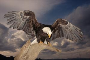 Bald Eagle Landing on Snag by W. Perry Conway