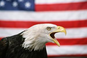 Bald Eagle Squawking with American Flag by W. Perry Conway