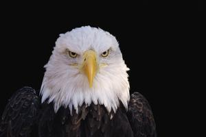 Bald Eagle by W. Perry Conway