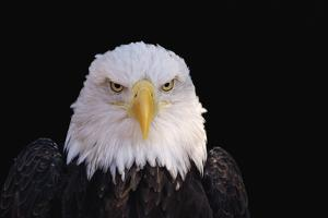Bald Eagle by W^ Perry Conway