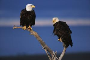 Bald Eagles Perching by W. Perry Conway