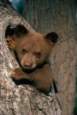 Black Bear Cub in Tree by W^ Perry Conway