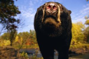 Black Bear Nosing Around by W. Perry Conway