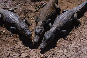 Black Caimans Sunbathing by W. Perry Conway
