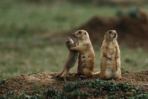 Black-Tailed Prairie Dog Family by W. Perry Conway