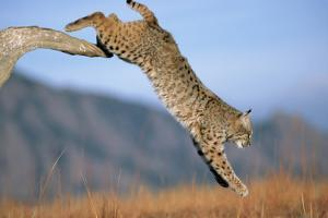 Bobcat Jumping from Branch by W. Perry Conway
