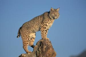 Bobcat Perched on Rocky Outcrop by W. Perry Conway