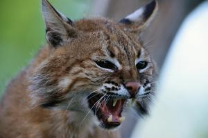 Bobcat Snarling by W. Perry Conway